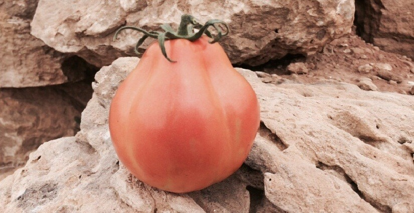 "A ""cuore di bue"" tomato with a solid pulp also in full maturation."